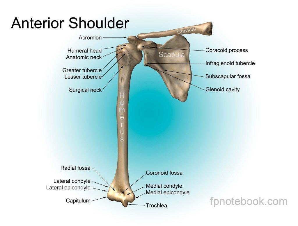 הדגמת 3 העצמות העיקריות בכתף: עצם השכם (scapula), עצם הבריח (clavicle) ועצם הזרוע (humerus). ראש עצם הזרוע מחולקת לגבשושיות שלכל אחת מהן מתחברים גידים שונים