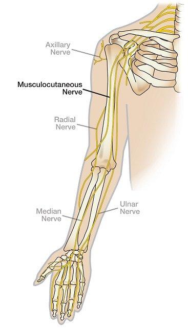 העצבים העיקריים העוברים דרך המרפק: עצב אולנרי, מדיאני, רדיאלי, מוסקולוקוטנאי